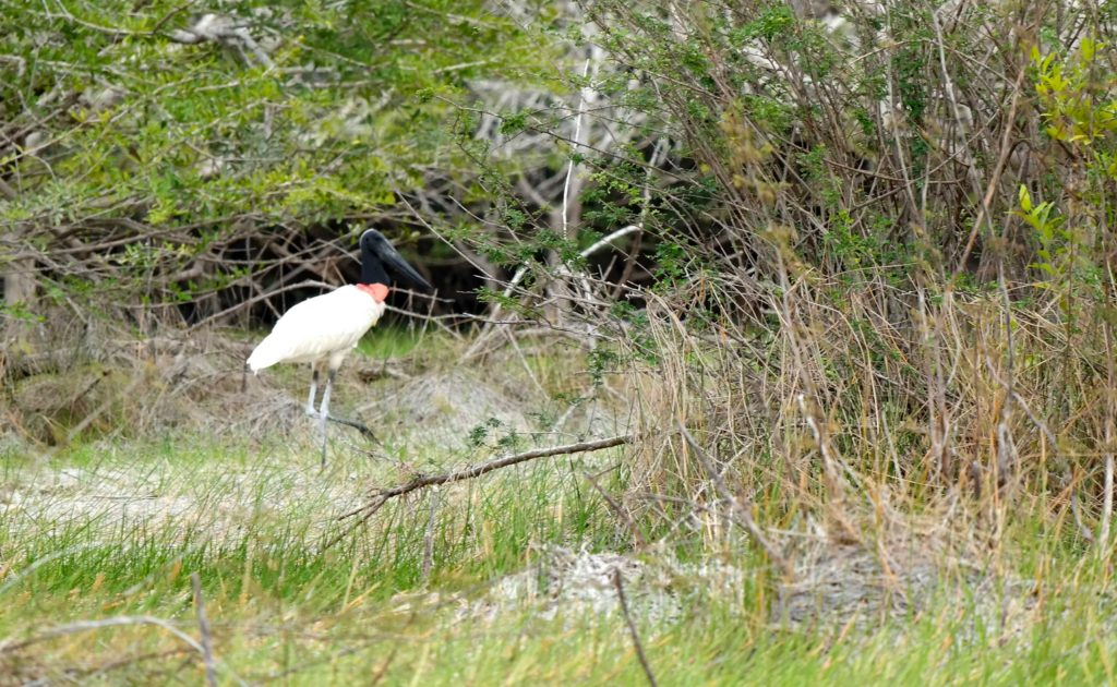 Jabiru bird in Belize
